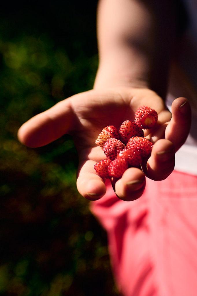 cueillette des fruits dans le jardin